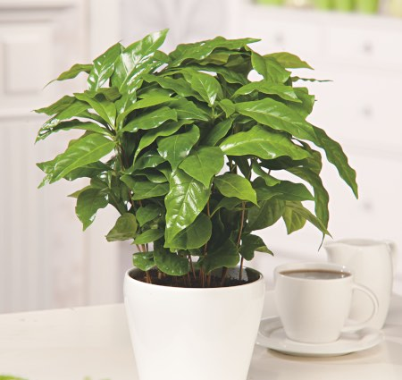 5 cuidados de la planta del café