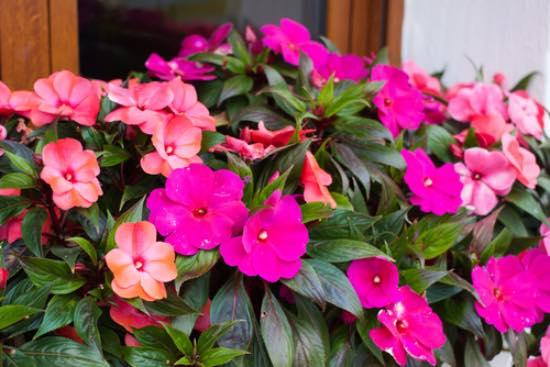 Alegría de Nueva Guinea, plantas para balcones sin sol