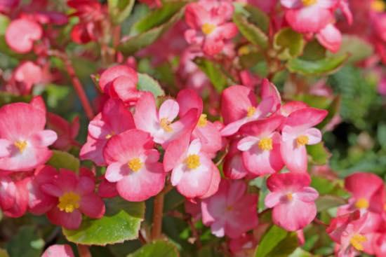 Begonia, una de las plantas para balcones sin sol