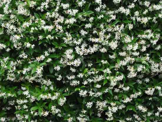 Jazmín de estrella, una de las plantas para balcones sin sol