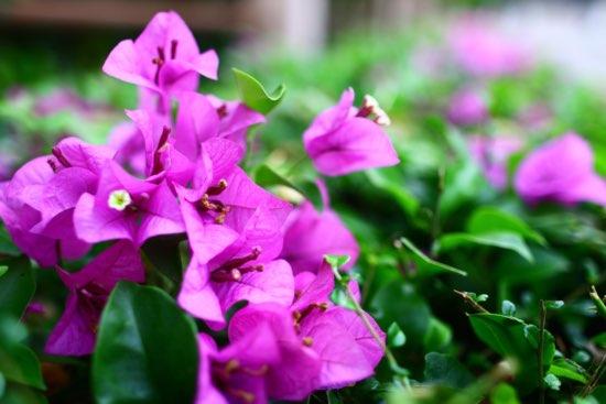Buganvilla, la más famosa de las plantas mediterráneas