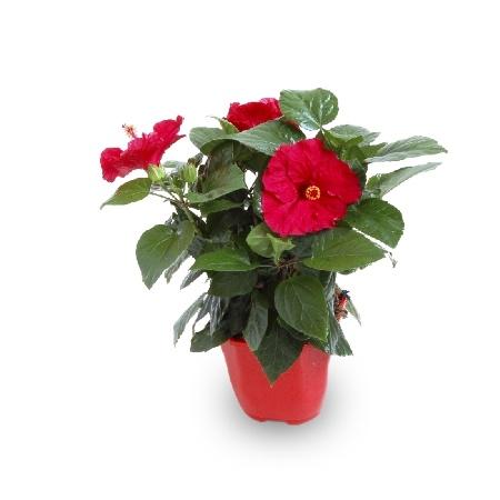Maceta de hibiscus rojo