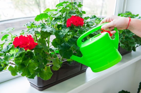 Exceso o defecto de agua, causas de las hojas amarillas del geranio