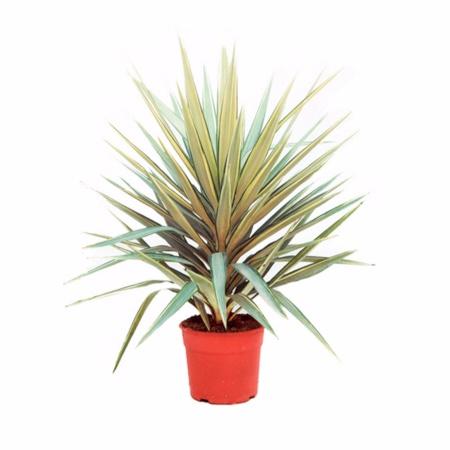 Cuidados de la yucca jewel