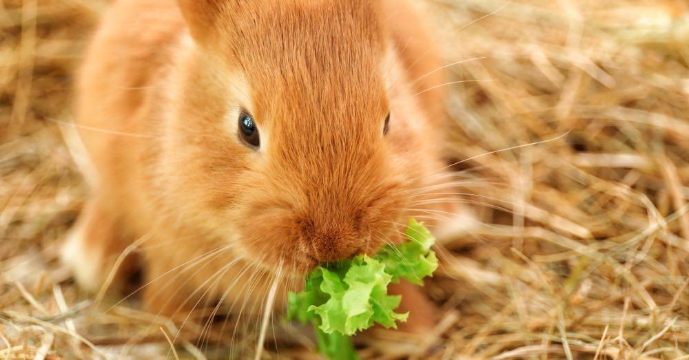 Qué comen los conejos domésticos