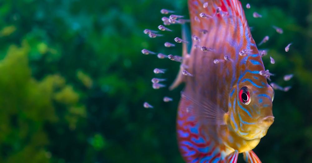 Cuidados de los peces disco, los reyes del acuario