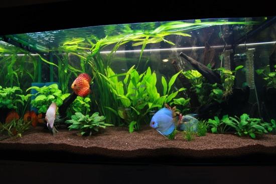 La decoración, parte de los cuidados de los peces disco