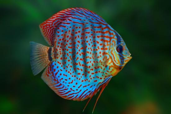 Características y cuidados de los peces disco