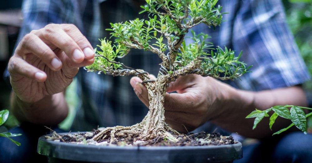 Por qué es un acierto regalar un bonsái