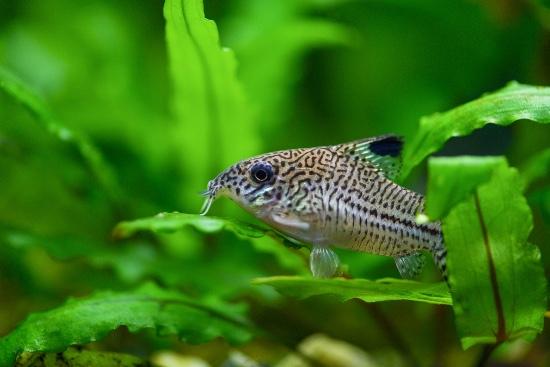 Corydoras, peces limpiadores de acuario