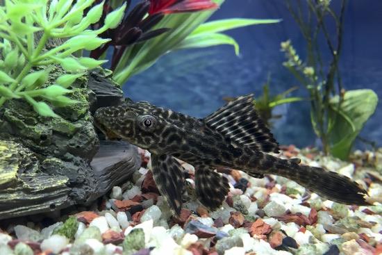 Plecos, los peces limpiadores de acuarios más comunes