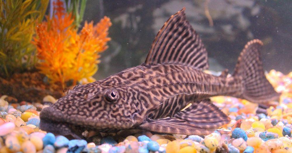 Peces limpiadores de acuario: cuáles elegir