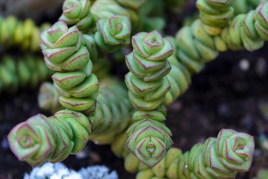 Crassula, una de las plantas que atraen dinero y prosperidad