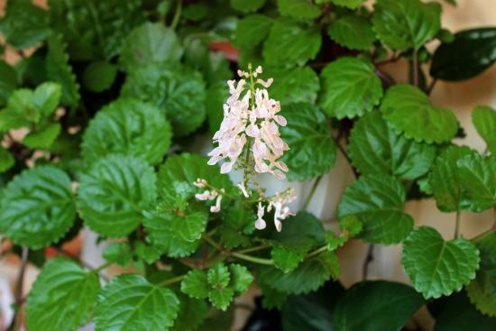 Hiedra sueca, una de las plantas que atraen dinero y prosperidad
