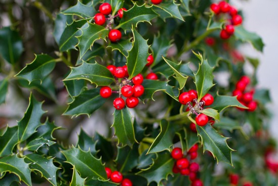 Acebo, una de las plantas rojas de la Navidad