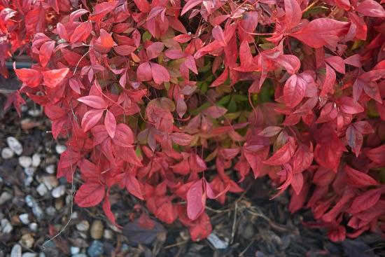 Nandina, una de las plantas rojas de la Navidad