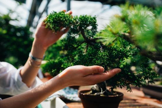 Por qué regalar un bonsái