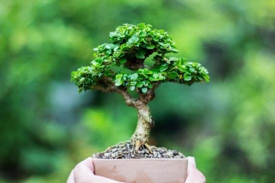 5 razones para regalar un bonsái