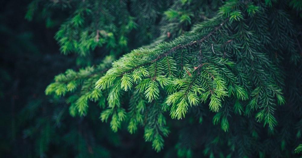 Tipos de árboles de Navidad: conócelos