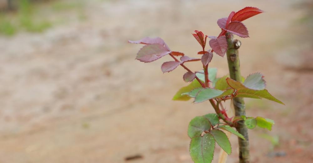 Plantar a raíz desnuda: qué es y cómo hacerlo