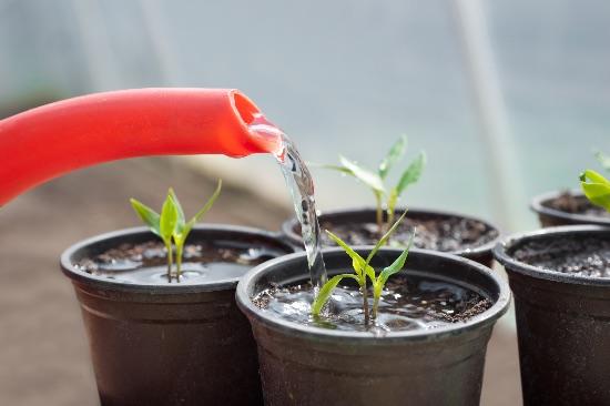 Recuperar una planta con exceso de agua paso a paso