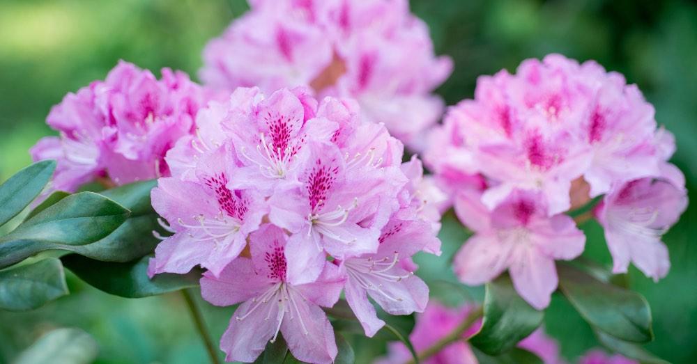 Cuidados del rododendro, el arbusto perfecto | Blog Verdecora