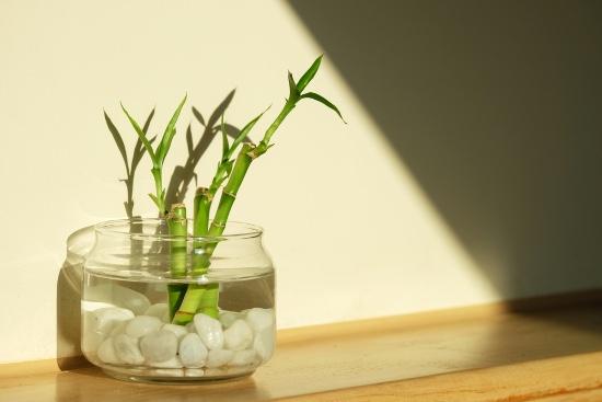 Lucky bambú, una de las plantas que atraen dinero y prosperidad