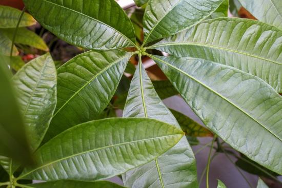La pachira, una de las plantas que atraen dinero y prosperidad
