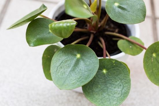 Pilea peperomioides, una de las plantas que atraen dinero y prosperidad