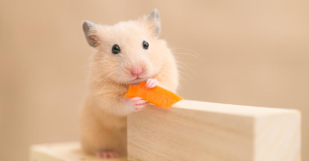 ¿Qué comen los hámsters?