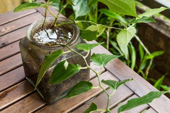Cómo afecta el exceso de agua a una planta