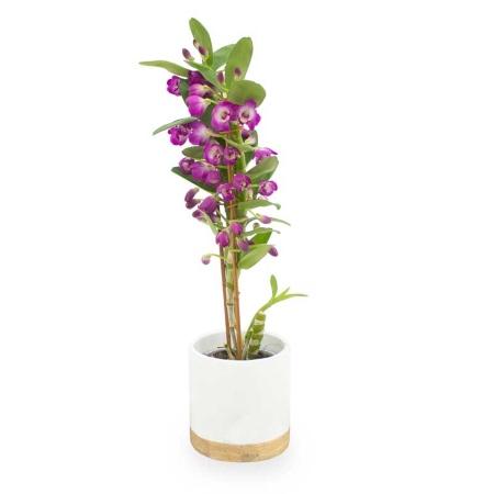 Orquídea dendrobium, una de nuestras ideas para regalar en San Valentín