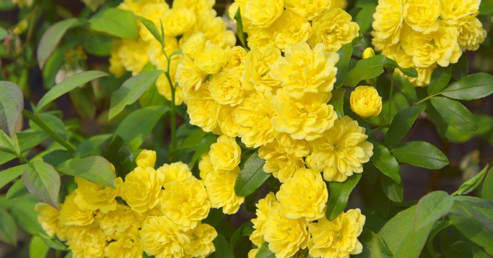 Cuidados del rosal Banksiae | Blog Verdecora