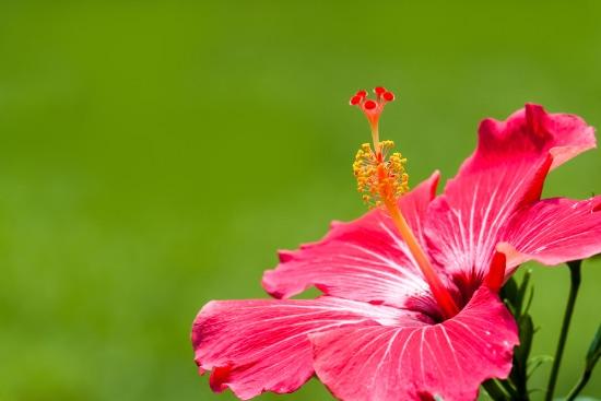 El riego, uno de los cuidados del hibiscus más importantes