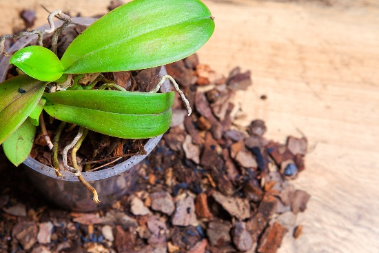 Come evitare problemi di coltivazione nell'orchidea
