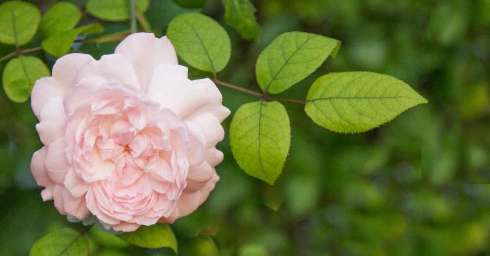 Rosas David Austin: características e historia | Blog Verdecora