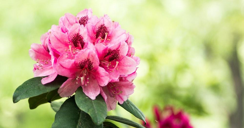 Cuándo florece el rododendro y qué necesita | Blog Verdecora