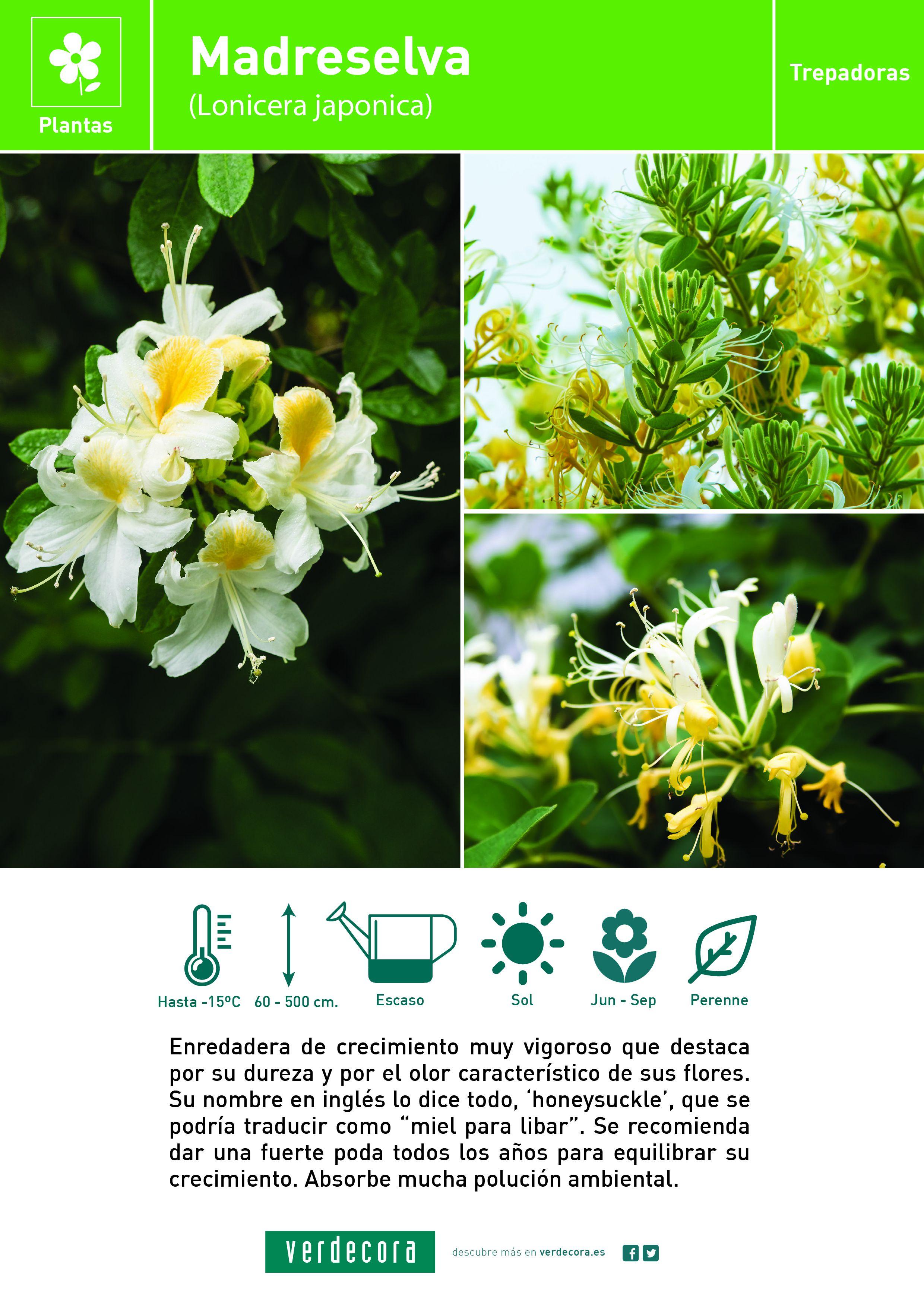 Madreselva 3l planta de exterior verdecora - Madreselva planta ...