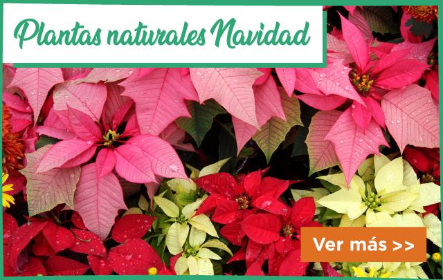 Plantas Navidad Naturales